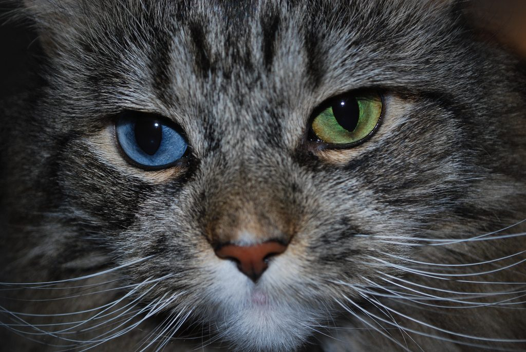 Cats Have Different Colored Eyes