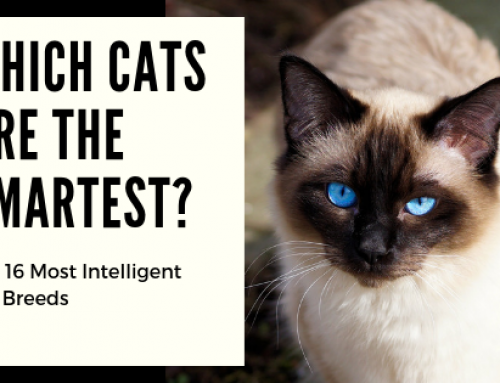 Which Cats Are the Smartest? 16 Of The Most Intelligent Cat Breeds