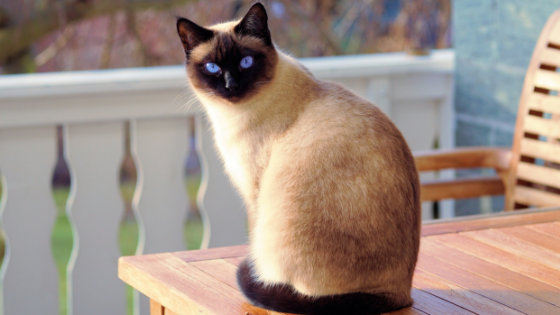 which cat is the smartest? the Siamese